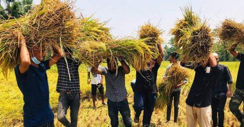 রোজা রেখে কৃষকের ধান কেটে দিল ত্রিশাল উপজেলা ছাত্রলীগ